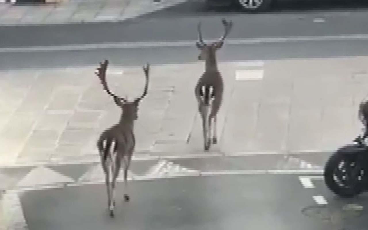 Fransa'da halk evlere kapandı caddelerde  geyikler gezdi