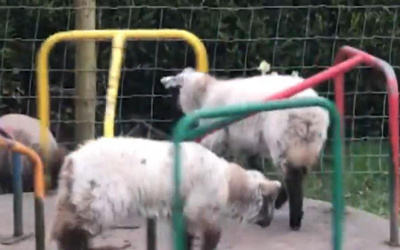 Karantina en çok onlara yaradı! Çocuk parkının tadını koyunlar çıkardı