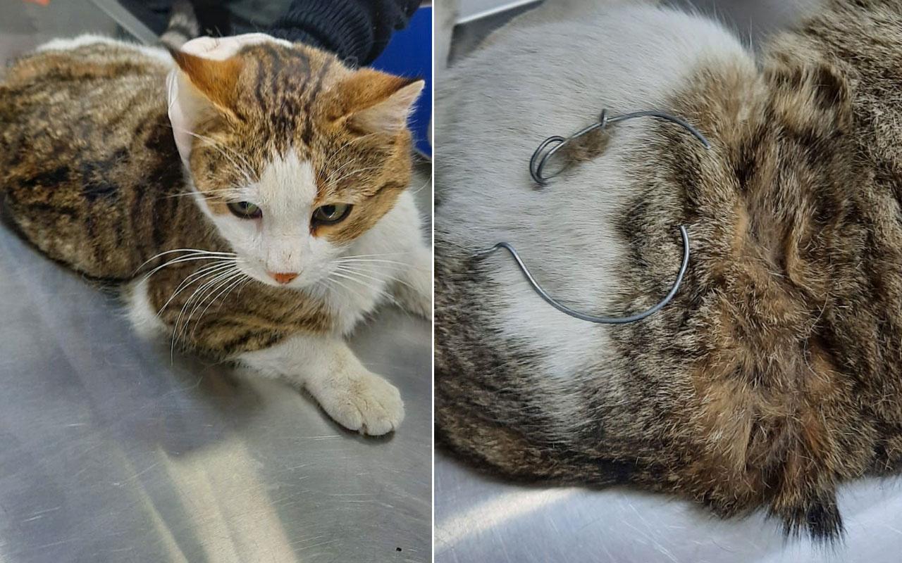 Beline çelik tel bağlanan kedi, ölüme terk edildi