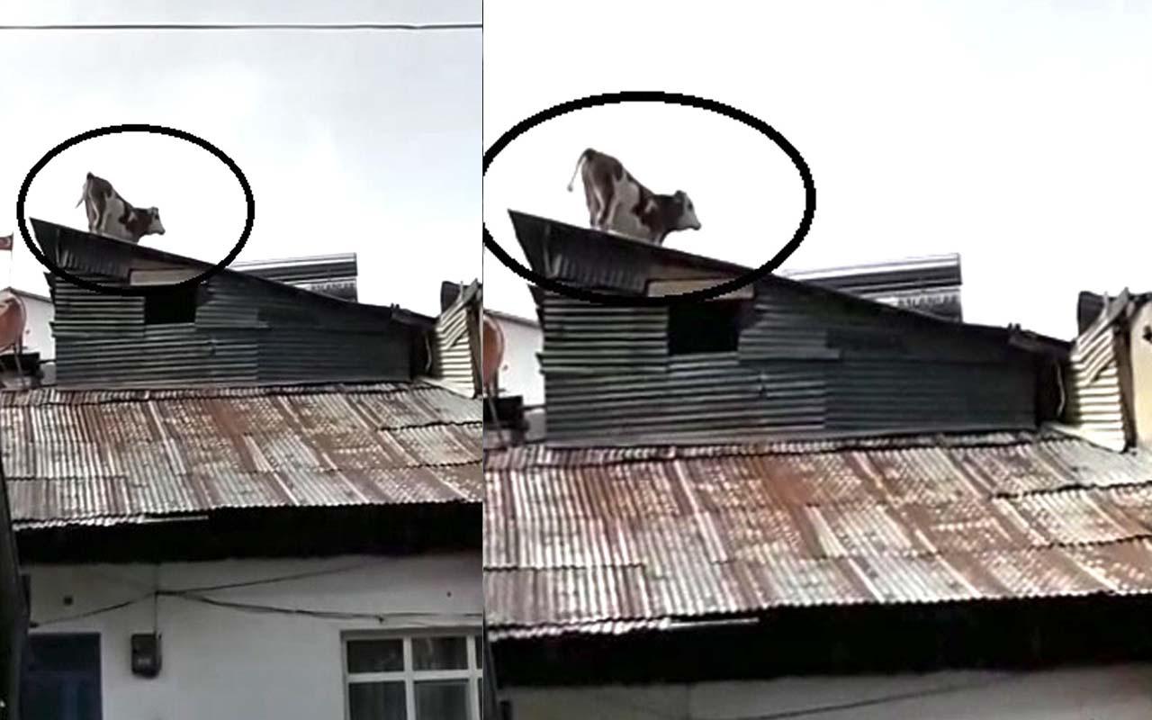 Bayburt'ta çatıdaki ineği görenler gözlerine inanamadı