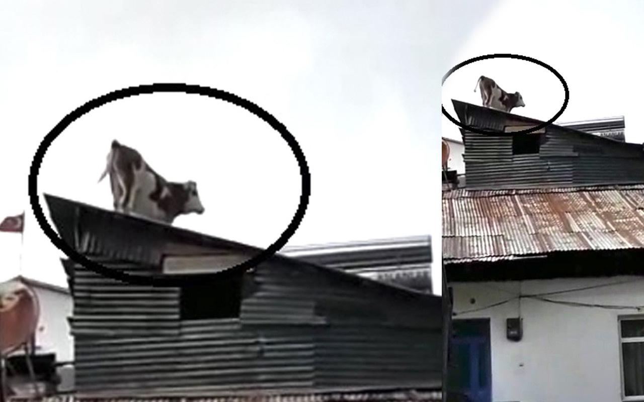 Çatıdaki ineği gören gözlerine inanamadı