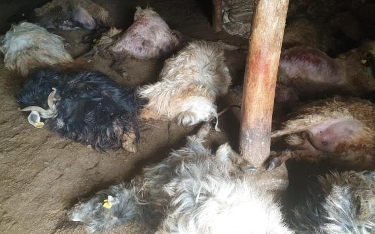 Hakkari'de ayının ahıra girip telef ettiği 50 koyun gömüldü