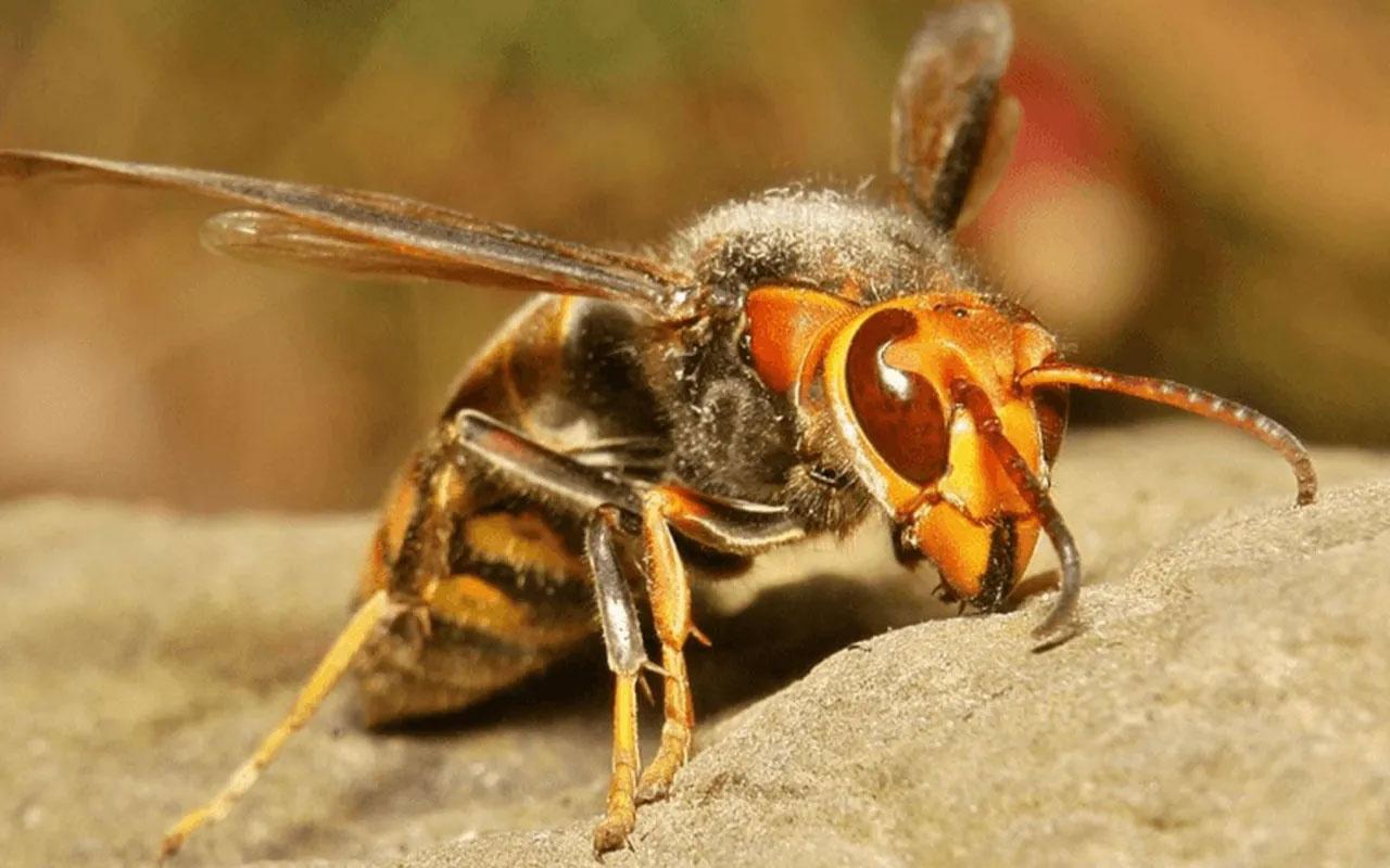 Avrupa'yı Covid-19'un ardından katil arılar vurdu öldürerek yayılıyor
