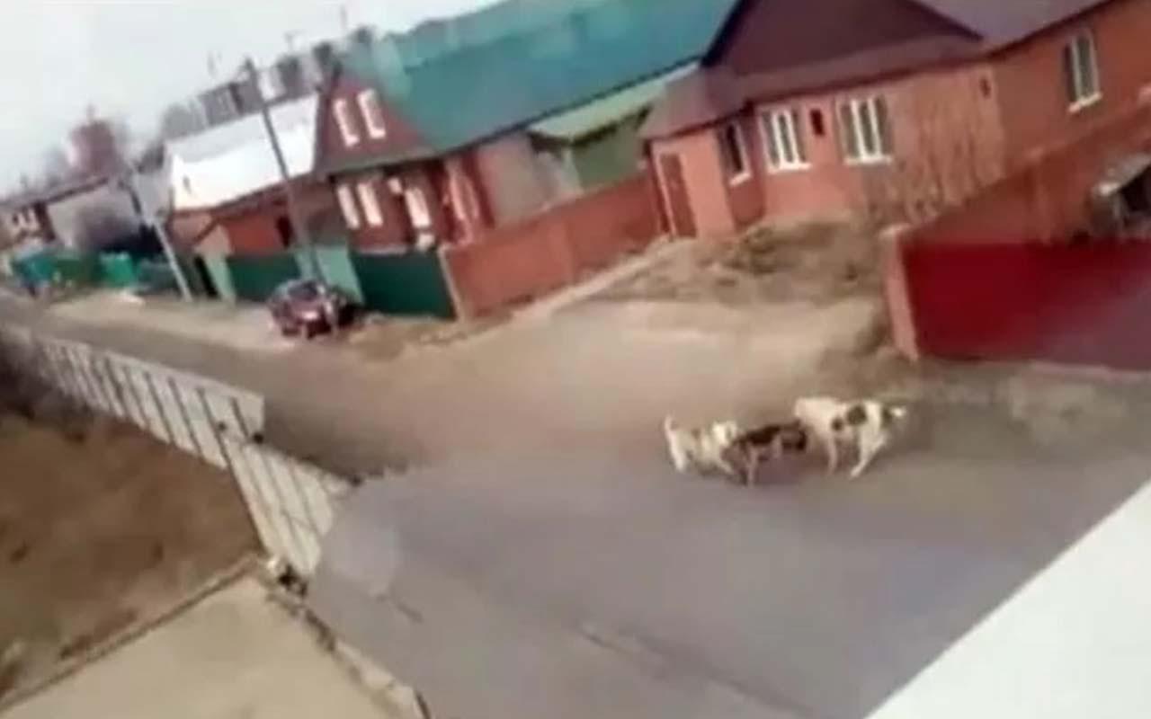 Korkunç görüntüler! Sokak köpekleri parçalayarak öldürdü