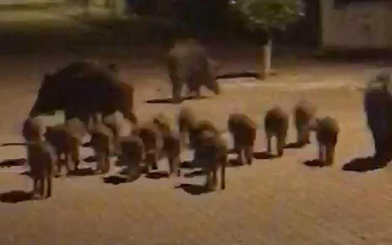 Marmaris'te yine aynı görüntü! Yaban domuzu sürüsü sokaklara indi