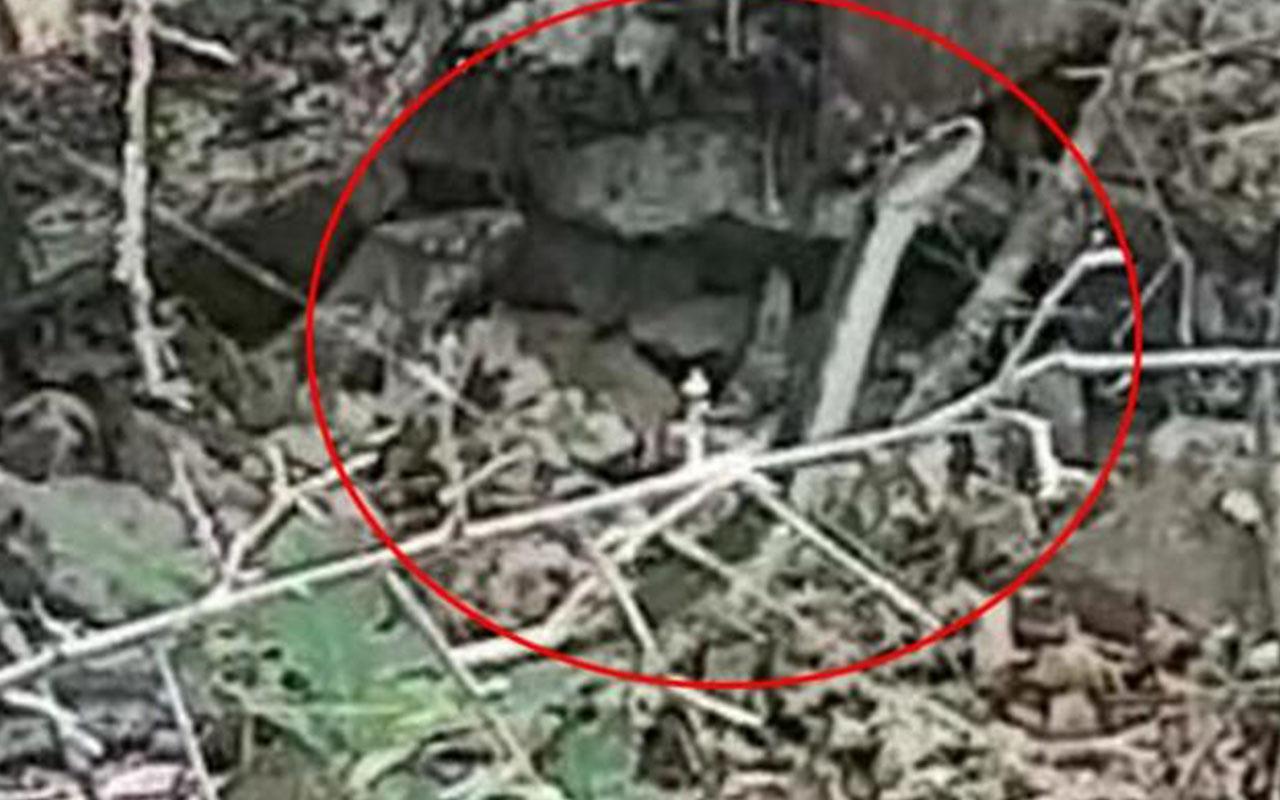 Doğu Karadeniz'de dev ölümcül yılanlar görüldü