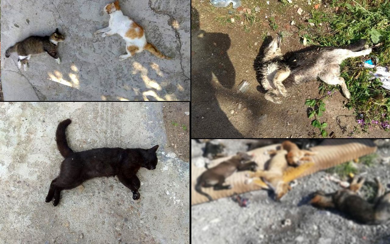 Aynı vahşet Edirne'de hortladı 12 kedi ve 3 köpek zehirli etle öldürüldü