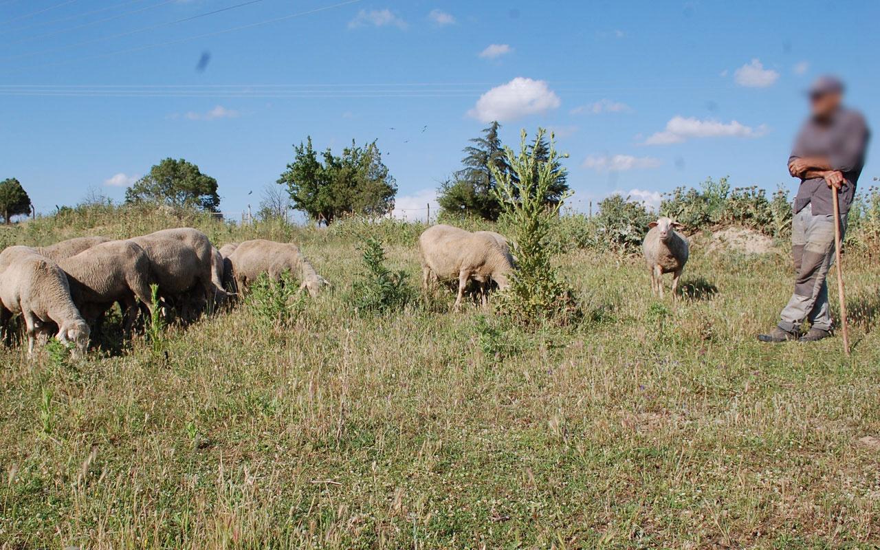 Tekirdağ'da çoban koyunları otlatırken buldu şoka girdi