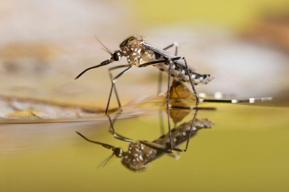 Laboratuvarda mutant sivrisinek üretildi hepsi bırakılacak eyvah!
