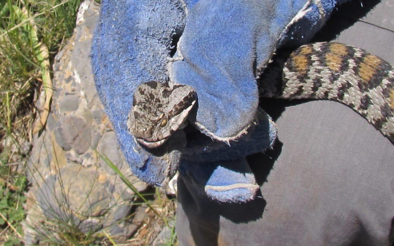 Tunceli ilçesinde ilk kez tespit edildi! Bu yılan 1 saat içinde öldürüyor
