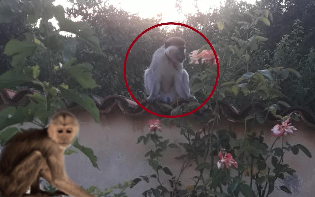 Muğla'da firari maymun alarmı! Ekipler seferber oldu