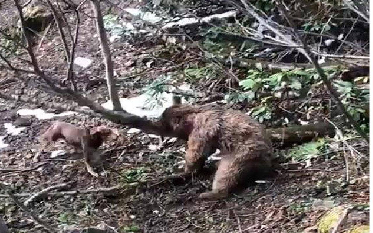 Vahşet! Can çekişen ayıyı köpeklere parçalattı!