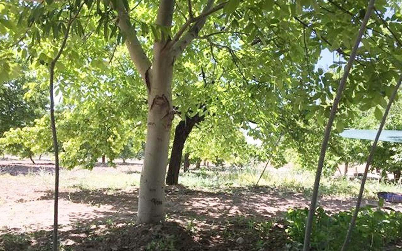 Kahramanmaraş'ta ceviz ağacındaki figür görenleri şaşırttı