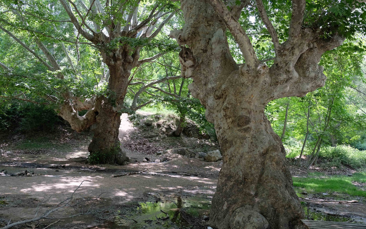 Konya'da 870 yıllık anıt ağaçlara yapılan saygısızlığa bak! Aşk sözlerinin esiri oldu