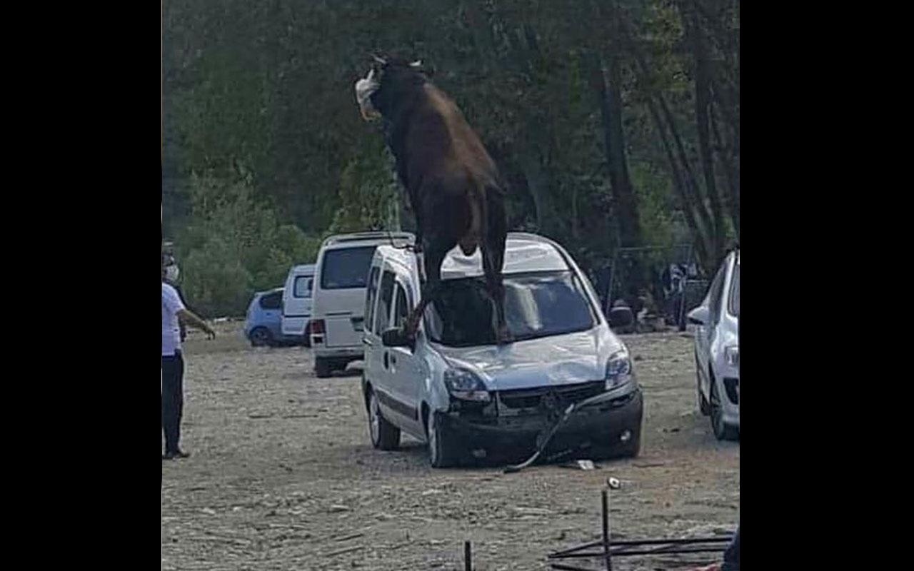 Samsun'da kurbanlık boğa park halindeki aracın üzerine çıktı