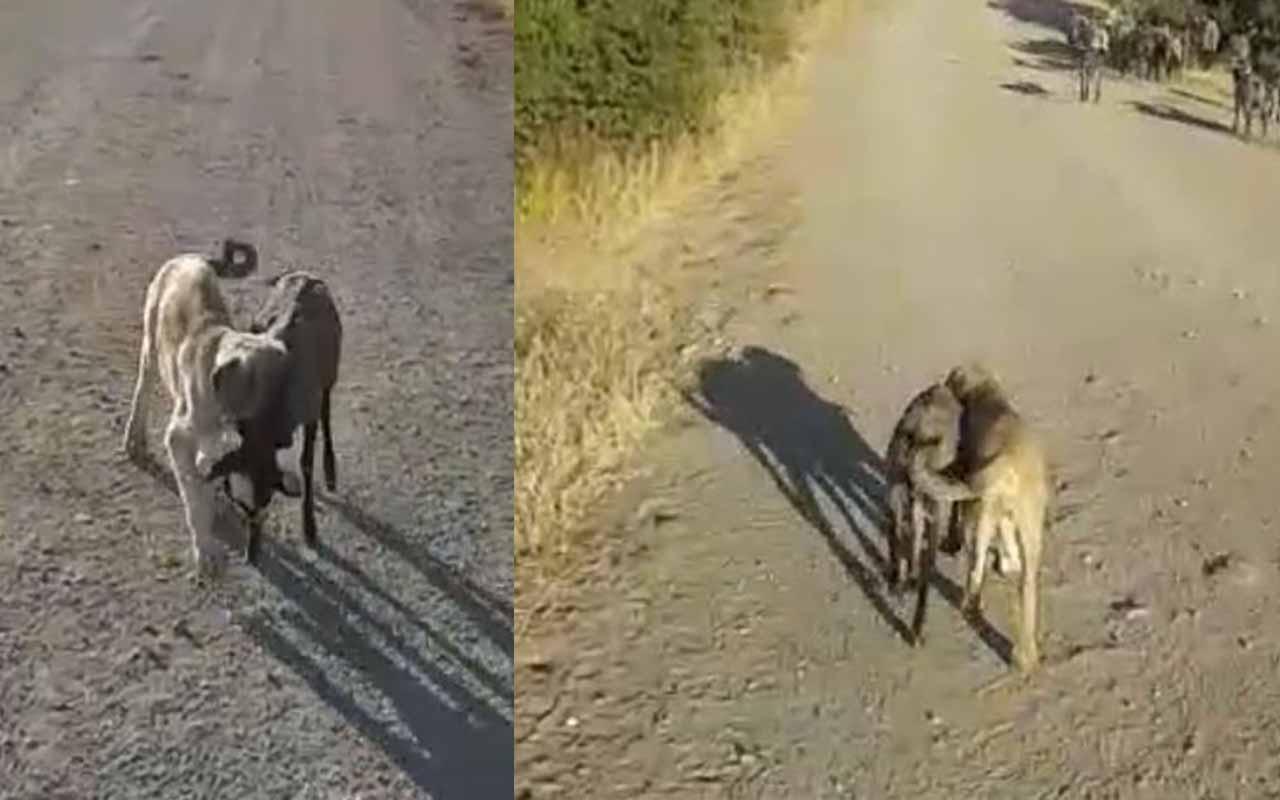Tunceli'de yavru köpek sürüden ayrılan kuzuyu böyle getirdi