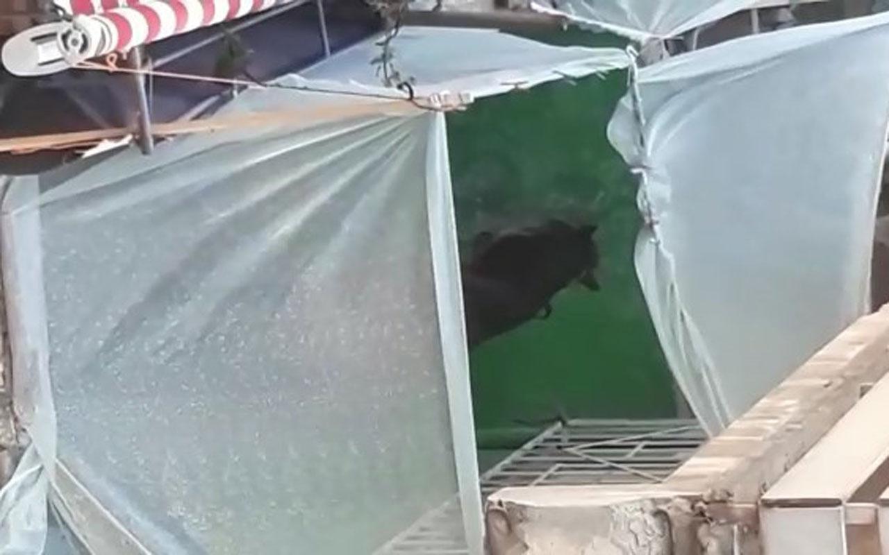 Olay yeri Bursa! Hayrete düşüren görüntü evinin balkonunda at besliyor