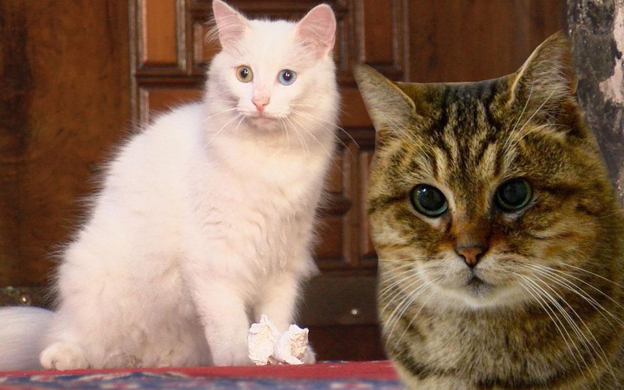 Ayasofya'nın kedisi Gli'ye Ankara'dan arkadaş geldi