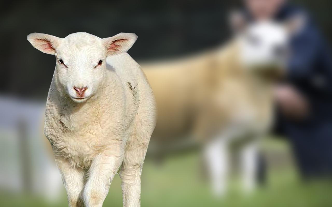 İskoçya'da dünyanın en pahalı kuzusu oldu 3 milyon 603 bin TL'ye satıldı