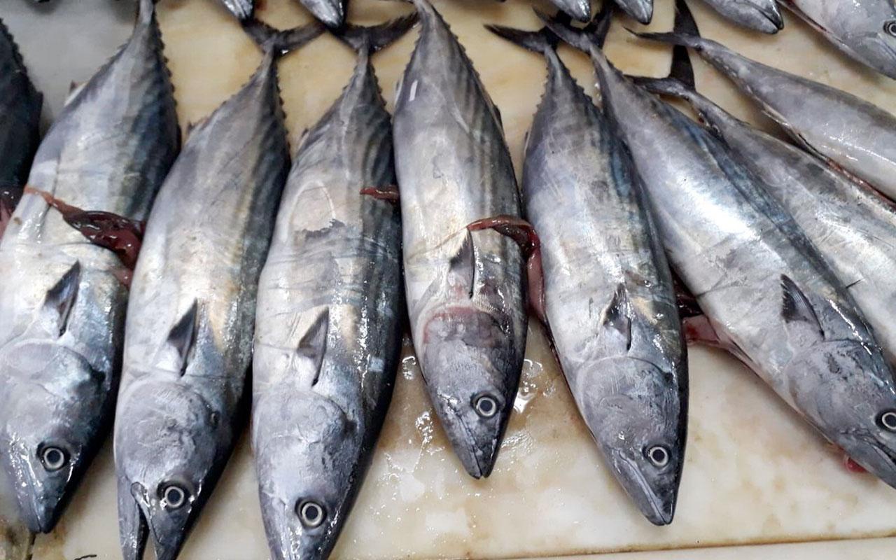 Palamut balığının nesli tehlikede! Bu boydakileri almayın!
