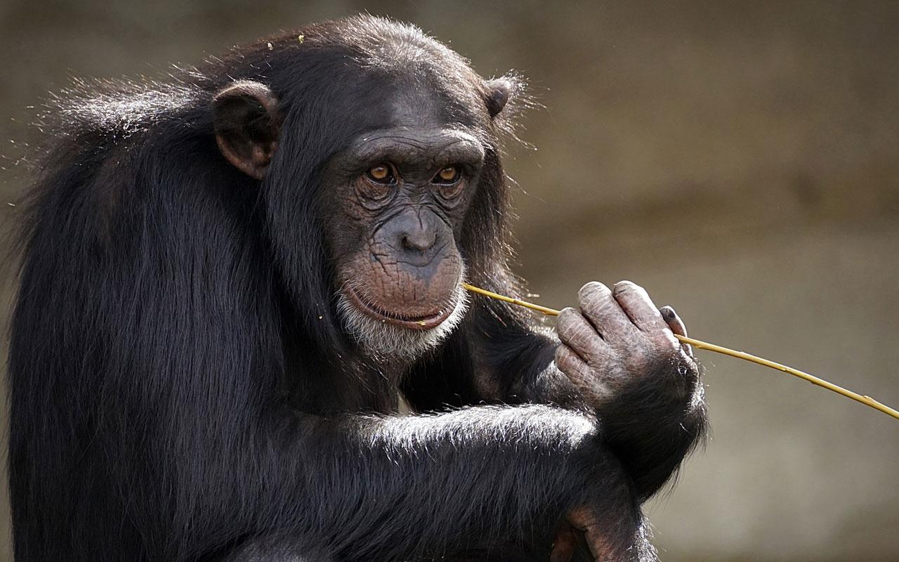 İsviçre maymunlara 'temel hak' verilmesi için referanduma gidiyor