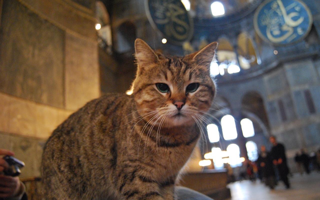 Ayasofya'nın kedisi Gli artık ayrı bir odada bakılacak