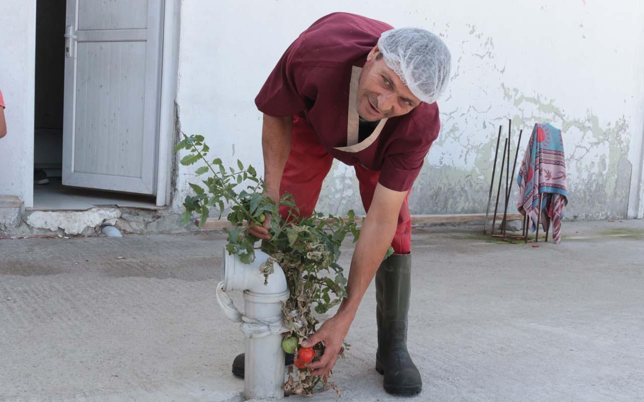 Betonda domates yetişti Balıkesir'de işçileri şaşkına çeviren olay