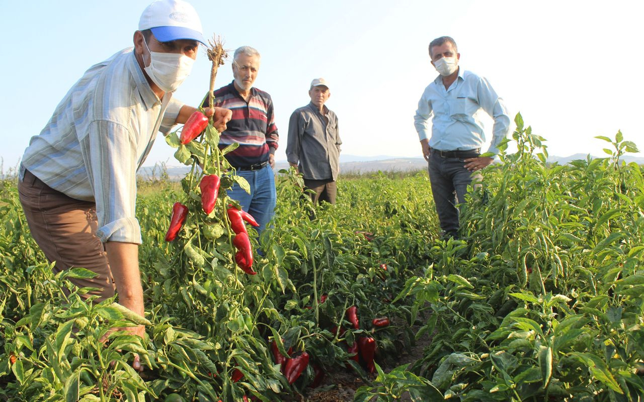 Geçen yıl 3 liradan alıcı buldu bu yıl tarlada çürüyor Bursalı çiftçiler kara kara düşünüyor