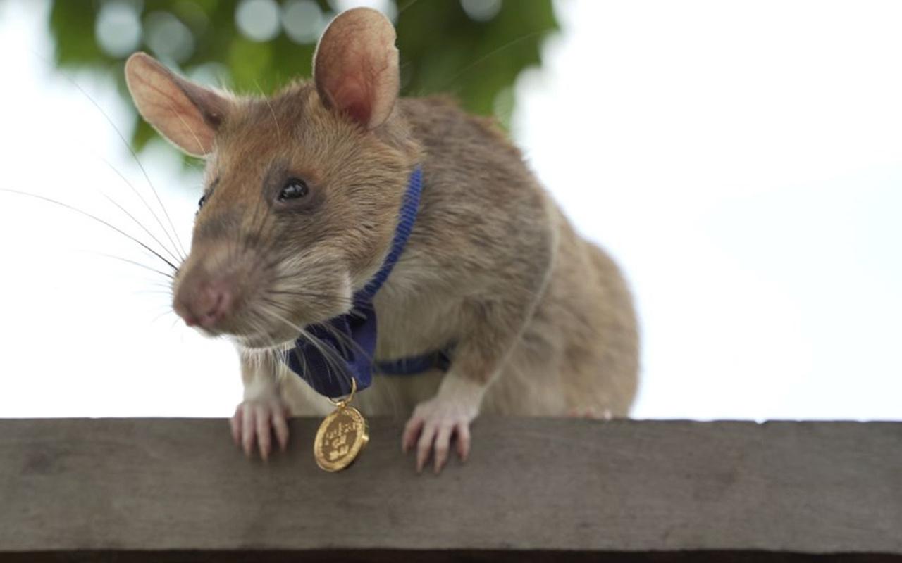 Bu fare bildiğiniz farelerden değil! Cesaret madalyası var