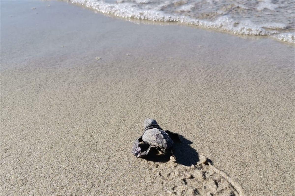 Bugüne kadar Marmara'da hiç görülmemişti uzmanlar 32 yavru tespit etti