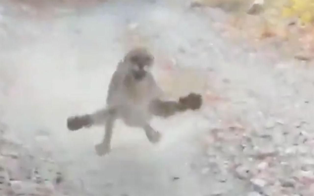 Yürüyüş yaparken karşısına puma çıktı! Gerilim dolu anları böyle kaydetti