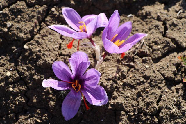 Karabük'te dünyanın en pahalı baharatın hasadı başladı! Fiyatını duyanlar kulaklarına inanamadı