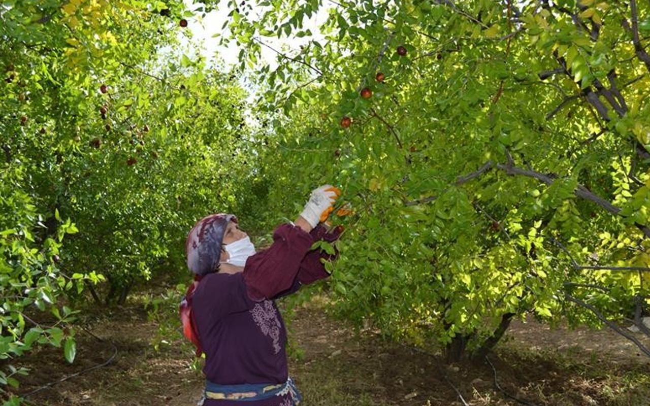 Isparta'da bir ağaçtan 20 kilogram elde ediliyor! Kilosu 10 TL
