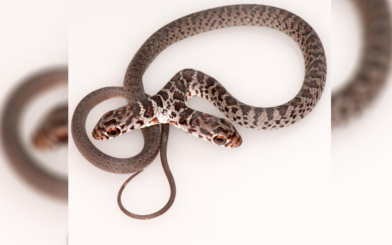 ABD'li aile evin bahçesinde buldu çift başlı yılan şaşkına uğrattı