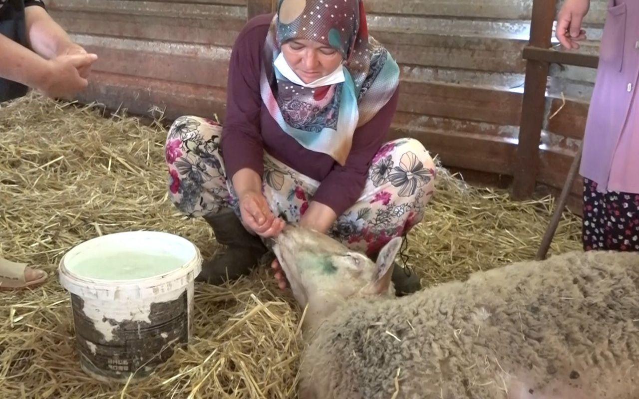 Bursa'da 100 bin lira kredi çekip aldıkları koyunlar yere yığılıp ölüyor