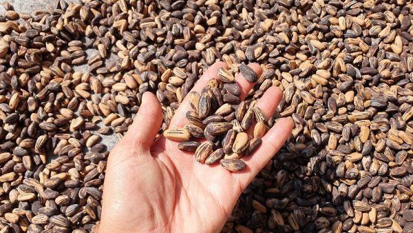 Mersin'de bahçesine gölgelik olsun diye dikti bir hasatta 40 bin lira kazandı