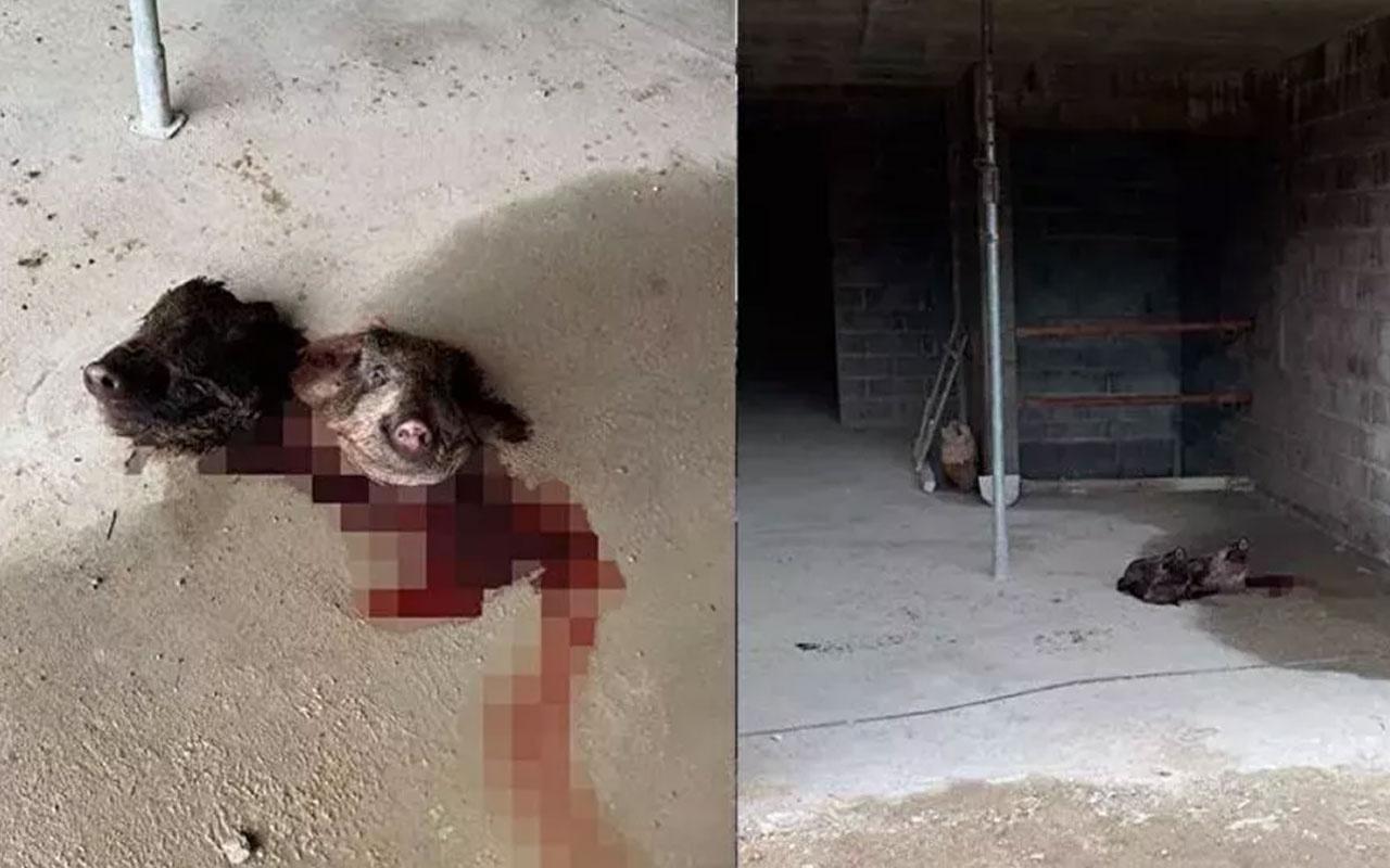 Fransa'da camiye iki yabani domuz başı bırakıldı