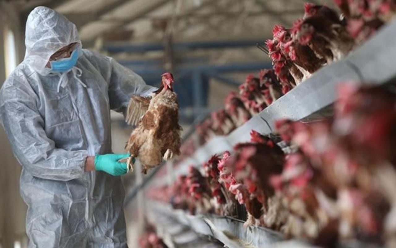 Japonya'da kabus geri döndü! 330 bin tavuk yok edilecek