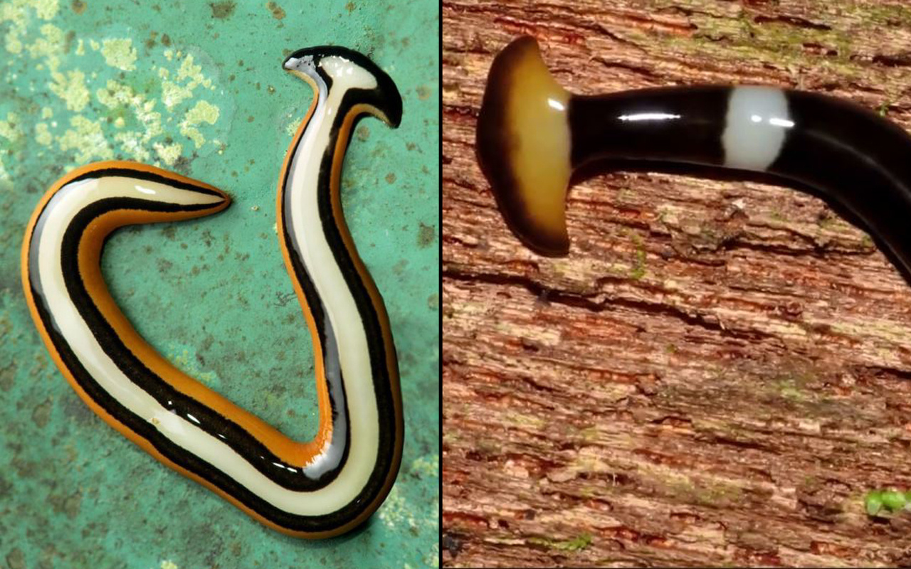 Asya'dan gelen ölümsüz yılan büyük panik yarattı! Kendini yeniliyor öldürülemiyor
