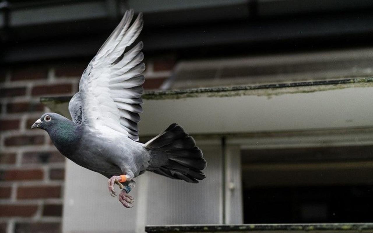 Dünyanın en pahalı güvercini satıldı! Fiyatı dudak uçuklattı