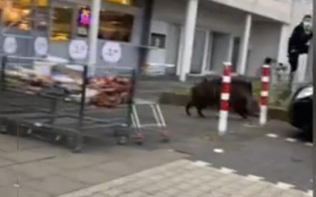Almanya'da aç kalan yaban domuzu süpermarkete daldı