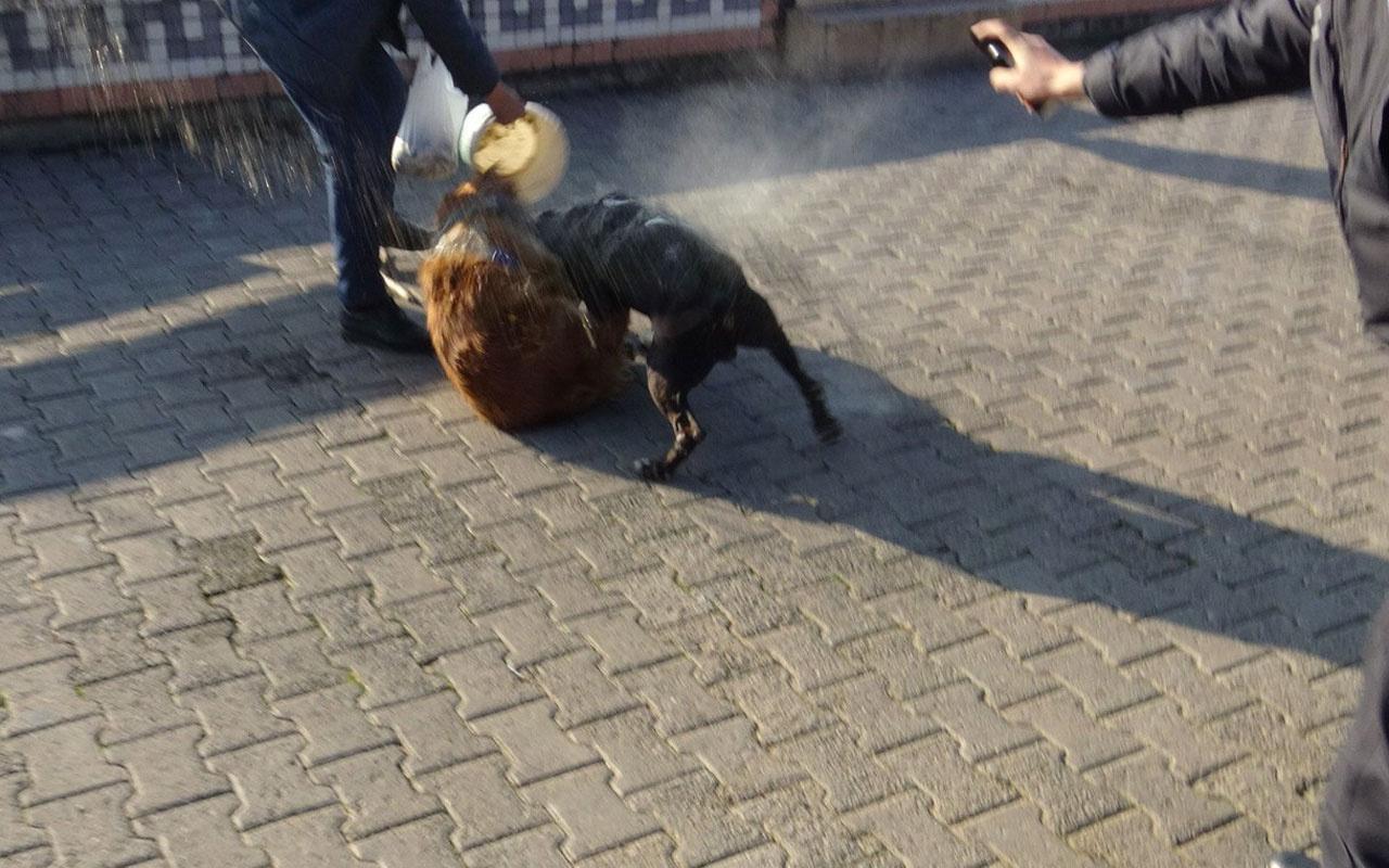 Zonguldak'ta pitbull boğarak öldürdü kimse elinden alamadı o anlar görüntülendi