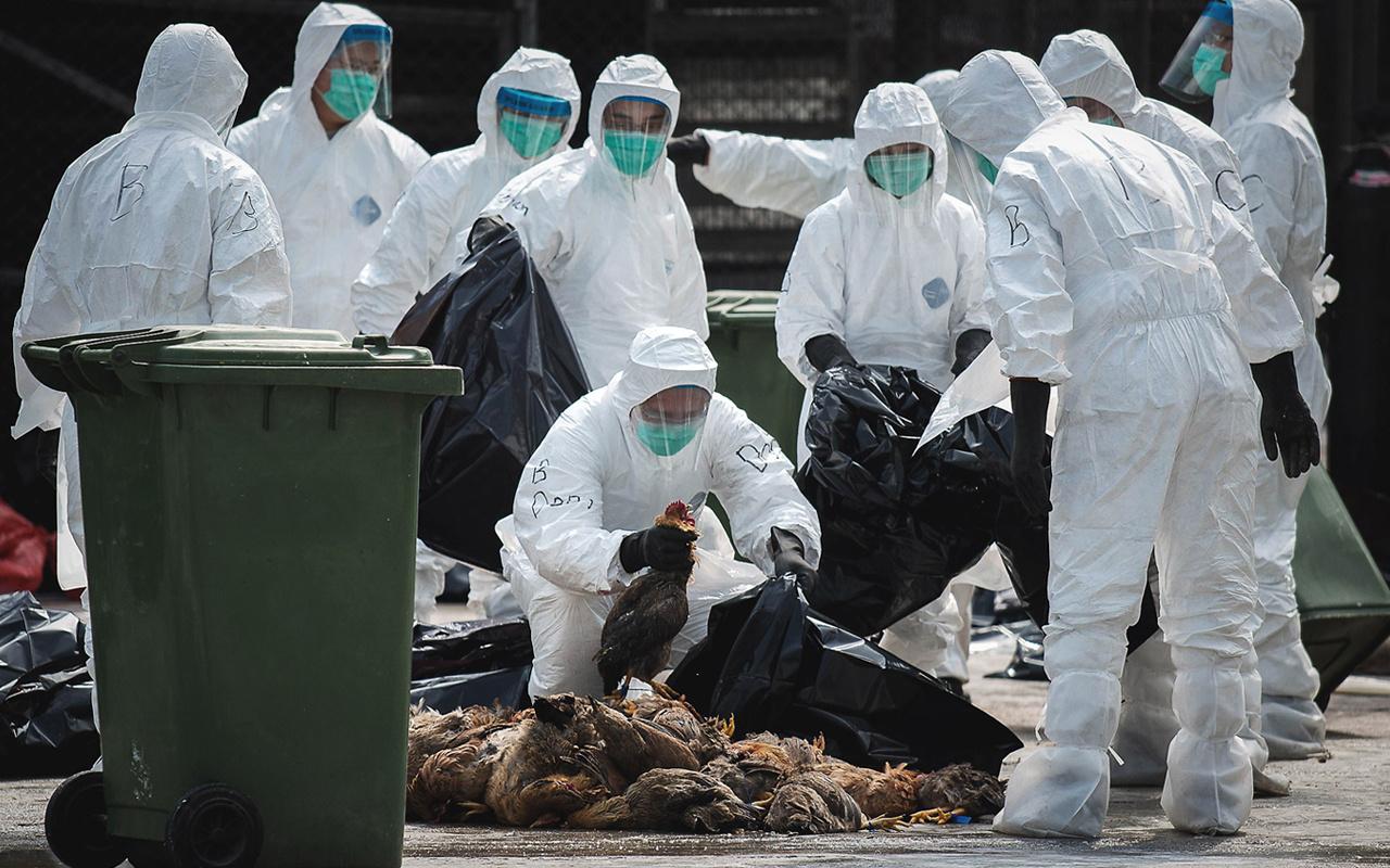 Japonya Dünya'yı tedirgin ediyor! Kuş gribi salgını 2 eyalete daha sıçradı