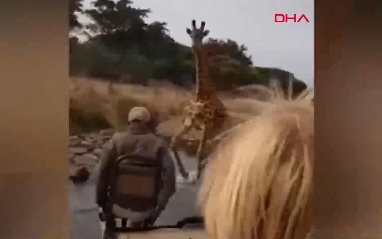 Kenya'da turistlerin kızgın zürafa ile imtihanı