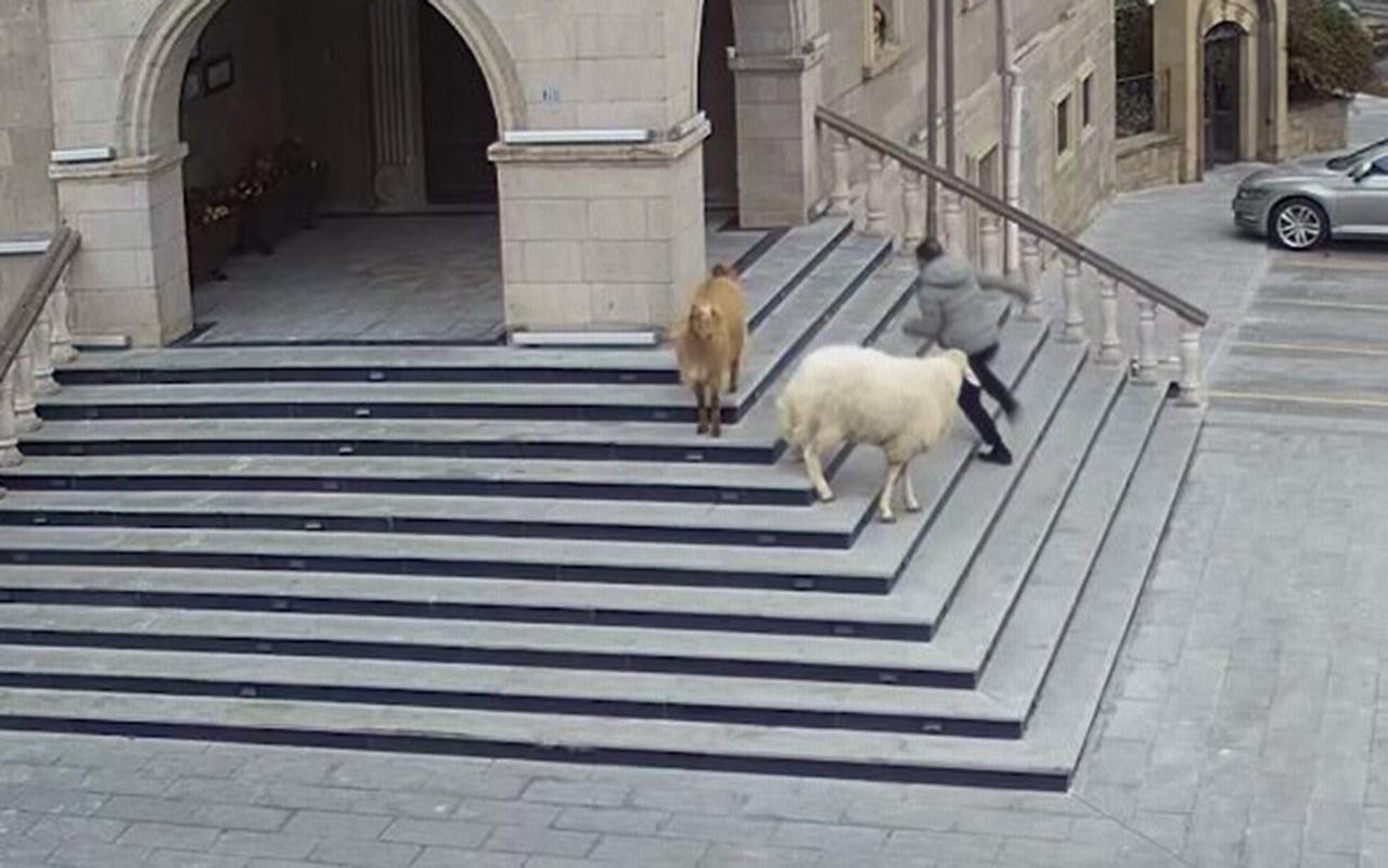 Sürüden kaçan keçi ve koyunlar Nevşehir Belediyesini bastı