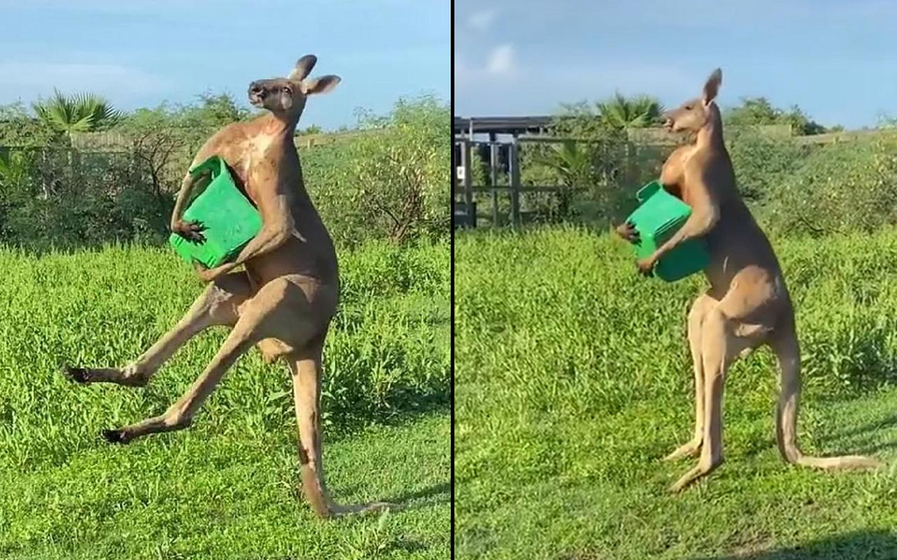 Dünya bu kangurunun görüntüsünü konuşuyor! Sosyal medyada paylaşım rekoru kırdı