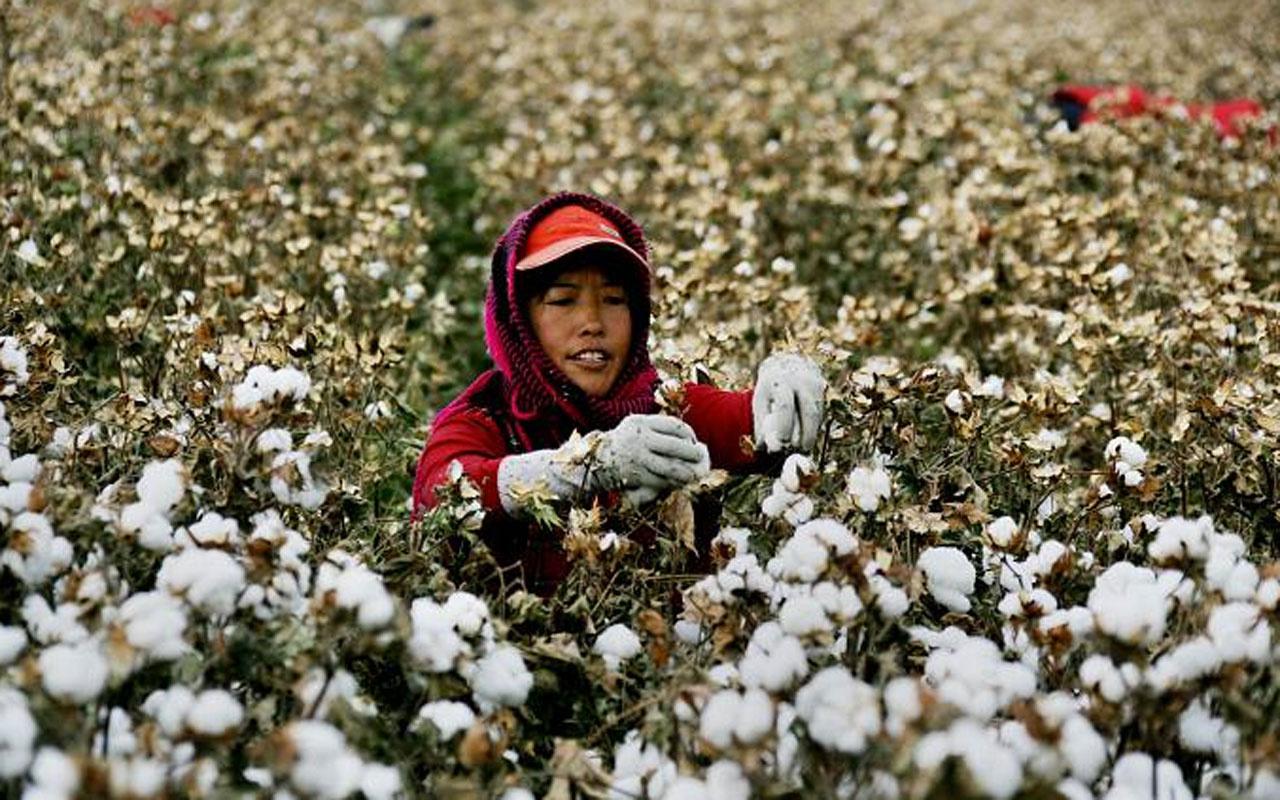 En az 570 bin Uygur Türkünün zorla pamuk tarlalarında çalıştırıldığı ortaya çıktı