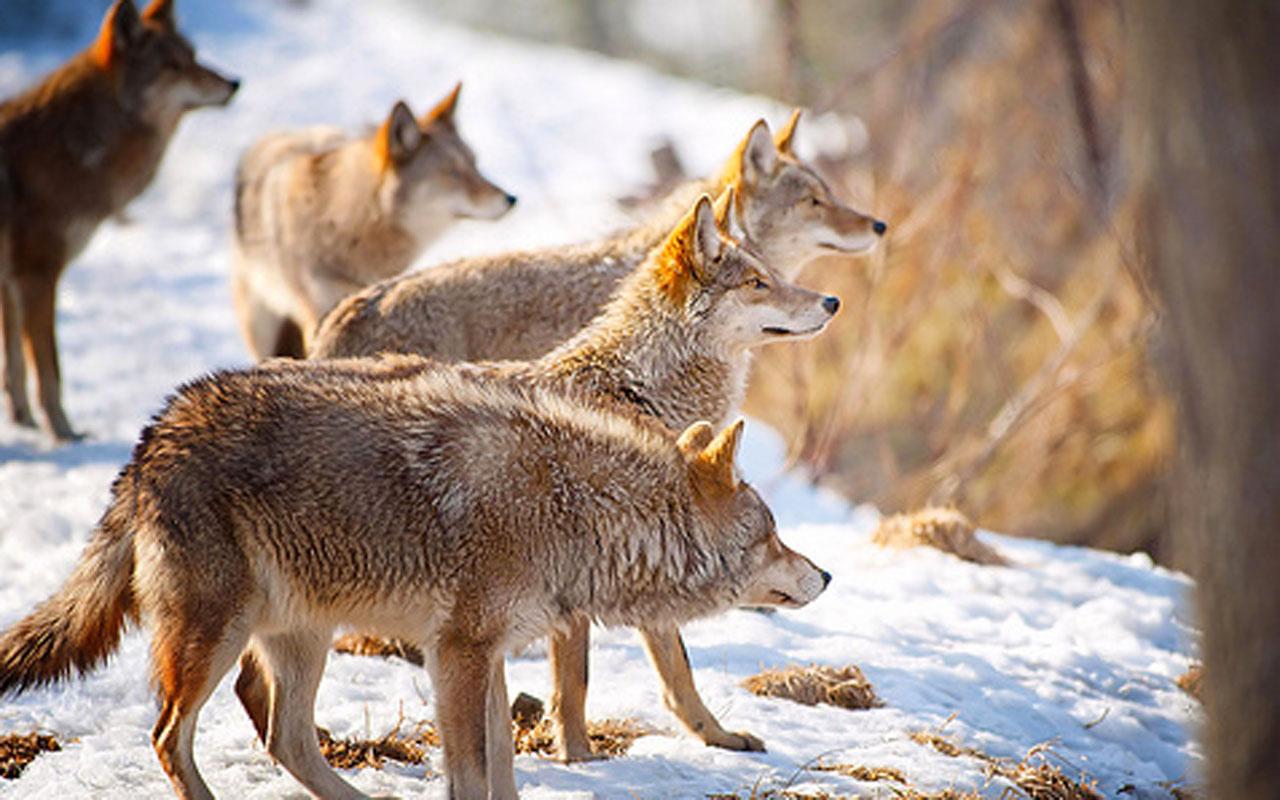 Kars'ta aç kalan kurtlar yerleşim yerlerinde yiyecek aradı