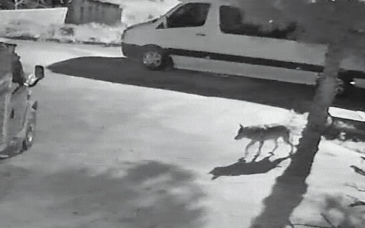 Giresun'da aç kalan kurtlar mahalleye indi