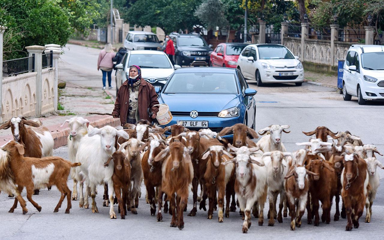 Antalya'da inanılmaz görüntüler! 'Şehirdeki çoban' Menşure Teyze lüks semtte çobanlık yapıyor
